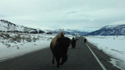 """<p _tmplitem=""""1"""">A stampede of angry Bison has left a lasting impression on a car after ramming it in Yellowstone National Park.</p> <p _tmplitem=""""1""""> The car, a 4WD, was parked on a road in Yellowstone's Lamar Valley when the three Bison came charging up the road towards it. </p> <p _tmplitem=""""1""""> """"Don't run into our car!"""" the man filming, Tom Carter, exclaims, a second before the Bison leading the pack does just that. </p> <p _tmplitem=""""1""""> Mr Carter and another woman in the driver's seat then burst out laughing at the horned animal's unprovoked attack. </p> <p _tmplitem=""""1""""> According to Mr Carter, who uploaded the footage to YouTube last week, the attack cost $3400 in damages, which was luckily covered by his insurer. </p> <p _tmplitem=""""1""""> Check out this gallery for more jerks of the animal kingdom. </p>"""