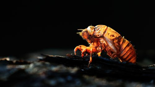 Millions of cicadas to emerge in the US for the first time in 17 years