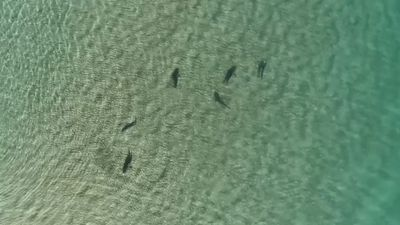 Drone captures sharks 'circling off North Stradbroke Island'