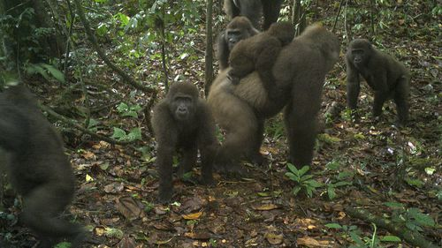 First images captured of rare gorillas with babies