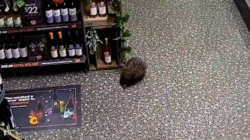 Thirsty echidna pays a visit to NSW bottle shop