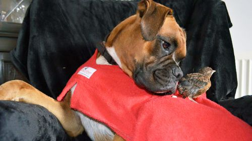 Boxer Rusty appears to have assumed guardianship for a thrush chick abandoned by its mother. (Facebook/Rusty the Gentle Giant)