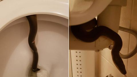 David Walton from Cairns Snake Removals snapped a few photos before relocating a water python found inside a toilet.