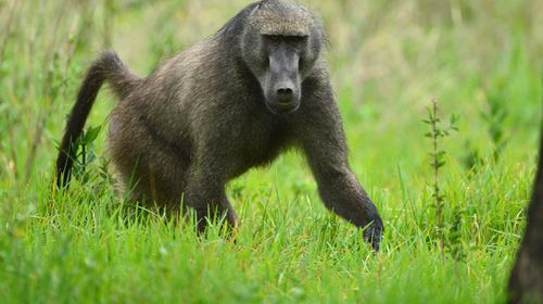 Baboons force Zimbabwe radio station off air