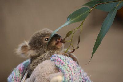 Rescued koala gets unlikely new surrogate parent
