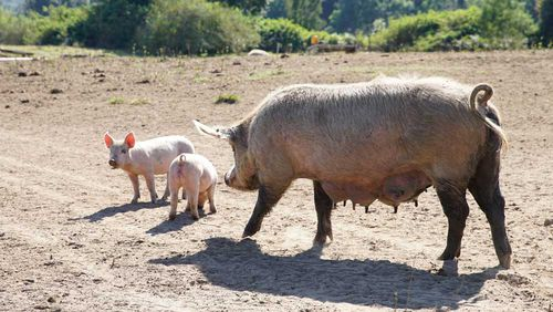 Woman eaten by pigs after fainting and suffering seizure on Russian farm