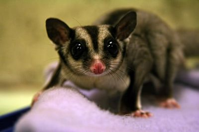 <strong>Sucky sugar gliders</strong>