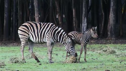 Dubbo zoo welcomes baby zebra