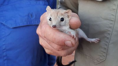 Tiny carnivorous marsupial feared extinct rediscovered in NSW park