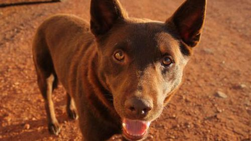 The late kelpie Koko brought real bark - and heart - to the outback. Rest in peace, Koko.<br/>