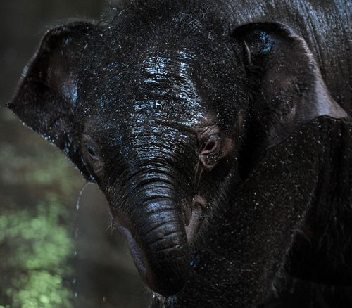 Staff at the zoo noticed Tukta appeared lethargic before an emergency treatment for Elephant Endotheliotropic Herpes began.