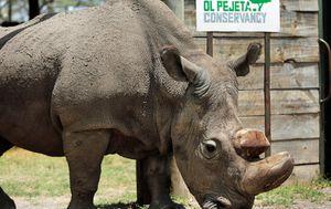 Sudan, the world's last male northern white rhino, dies after illness