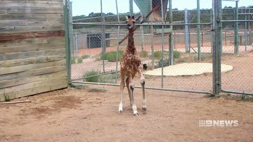 The giraffe was released into the herd at Monarto Zoo. (9NEWS)