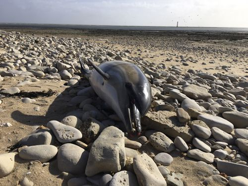 A dead dolphin on a shore of Rivedoux, Ré island on the Atlantic coast, western France. France has been shaken into action after a record number of dead dolphins have washed up on the country's Atlantic coast this year.