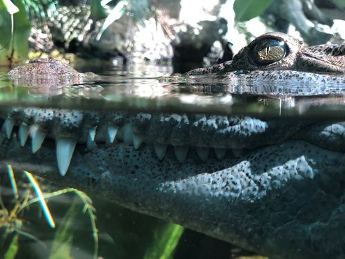 Philippine crocodiles are a rare species.