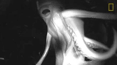 """<p>It's like something straight from a horror film…  Scientists claim they are one step closer to unravelling one of the greatest mysteries of the deep thanks footage captured by """"Crittercams"""" strapped to the bodies of giant squid.</p><p>  Marine biologists have long known the Humboldt squid, which can grow as big as a man, speak to each other in flashes of colour, their whole bodies changing from red to white and back again.</p><p>  Now they claim to be one step closer to figuring out just what it is they are saying, as video analysts work to decipher their creepy chatter of flickers, lunges and flashes.</p><p>  They mightn't have cracked the code yet but even getting this far was a stretch, as a new research paper explains.</p><p>  The aggressive predators, sporting suckers lined with sharp teeth, show no fear of human divers and have been known to rip off diving masks and to attack lighting and camera equipment.</p><p> If that wasn't enough, they also have a two-inch-long beak used to sever the spines of fish, and have no qualms about ripping apart and eating injured comrades.</p><p> So scientists mounted cameras on three of the animals instead.</p><p>  Click through to watch squid poetry in motion as well as a few quirks held by their less intimidating cephalopod cousins.</p>"""