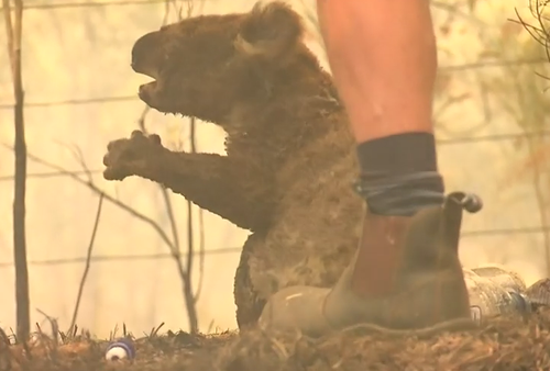 Koala rescued from NSW bushfire dies due to extensive burns