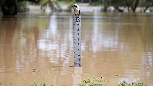A Kookaburra sits on a flood gauge adjacent to the Balonne river in St George, south-western Queensland, Thursday, February 27, 2020. The Balonne river has peaked at 12.2 metres, causing local flooding