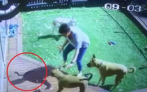 CCTV shows Melbourne woman protecting rescue dogs from tiger snake