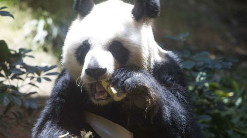 Giant panda Jia Jia munches on some bamboo on her birthday. (AAP)