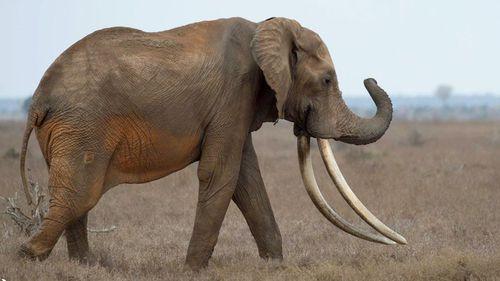 Poachers kill rare giant elephant Satao II in Kenya