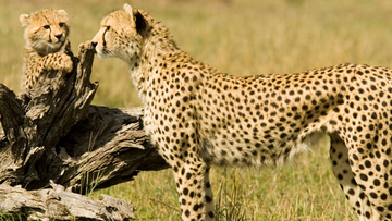 Young cheetahs are taken from the wild in a trend of