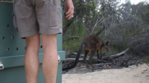 'Syd' the swamp wallaby was released into Ku-ring-gai Chase National Park this morning. (Taronga Wildlife Hospital)