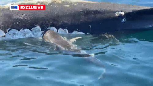Shark attacks Forster fisherman boat during whale feeding frenzy