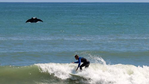 Giant manta ray jumps out of ocean and photobombs surfer