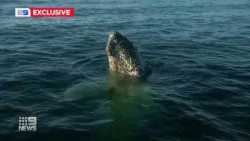 humpback whale NSW