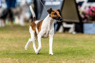 Best in show: smooth fox terrier