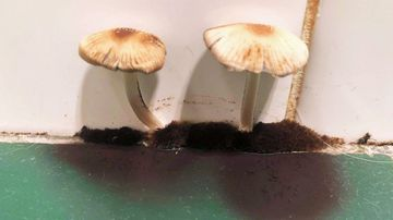 Mushrooms appeared on the walls of Melbourne renter Ebony Rehannon's home.