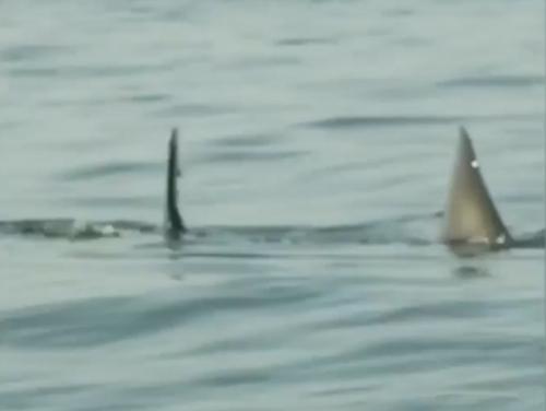Katharine, great white shark resurfaces after months off radar.