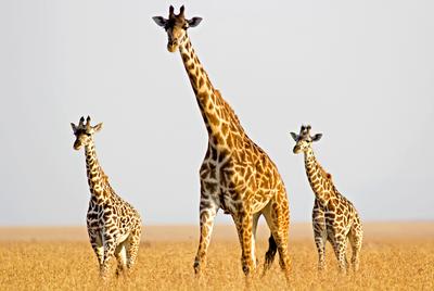 The giraffe population is plummeting