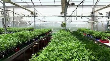 The giant medicinal cannabis crop being grown on the Sunshine Coast