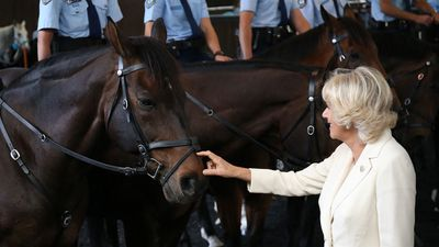 The Duchess of Cornwall strokes the nose of a horse during the royal couple's tour of the NSW Police Mounted Unit in Redfern, ahead of their meet and greet in Sydney's Martin Place. (AAP)