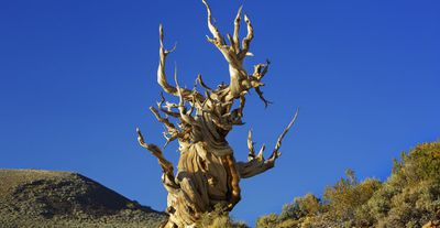 The Ancient Bristlecone Pine Forest in California is home to the oldest known individual trees on Earth. Some have been proven to be more than 5000 years old. (Getty Images/Frank Krahmer)