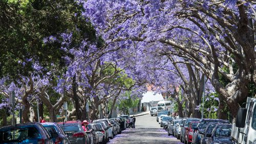 Jacaranda trees are not native to Australia, but can be found around Sydney and are popular for their stunning purple blooms in spring. (Getty)