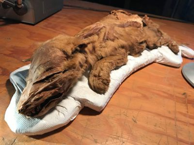 Mummified ice age wolf pup, caribou discovered in Yukon