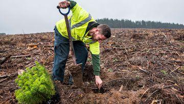 seedlings planted black summer bushfires forest rebuild