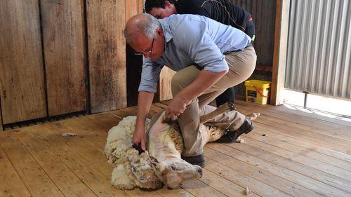 Scott Morrison shears a sheep at a farm north of Dubbo.