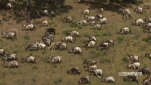 Dozens of goat herds are being deployed across parts of Portugal ahead of the bushfire season. Picture: 9NEWS