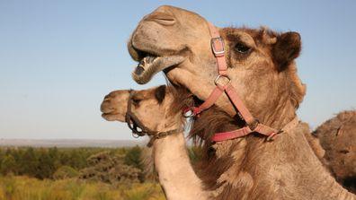 Good Earth Dairy makes pure Australian camel milk