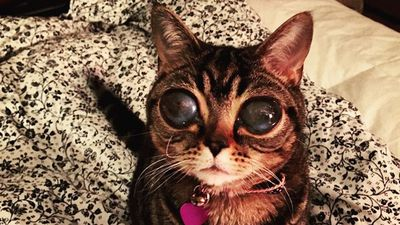 A Canadian cat has gained a massive Instagram following for its enormous glassy eyes.<br><br>Two-year-old 'Alien Cat' Matilda reportedly suffers from spontaneous lens luxation, meaning the lenses in her eyes are detached.<br><br>The condition does not usually cause the eyes to grow however, puzzling veterinarians.<br> <br>Matilda is mostly blind but can see some light and motion.<br><br> Her owners say she loves to play and cuddle and is not in any pain.<br><br> Find Matilda on Instagram @aliencatmatilda<br>