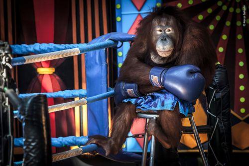"""Losing the fight"" shows an orangutan in Bangkok, Thailand."
