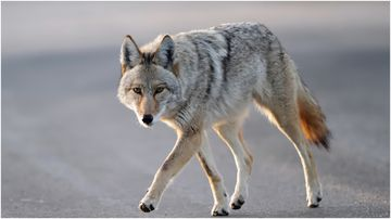 A Florida man protected his pet dog from a wild coyote using a coffee thermos.