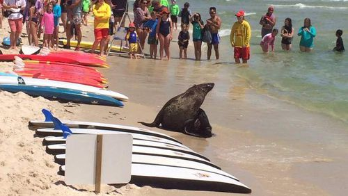 The seal swam ashore, surprising beachgoers in Melbourne. (9NEWS)
