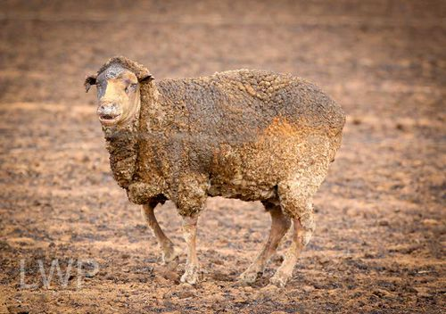 A sheep somehow manages to stay on its feet despite being badly burned. (Image courtesy of Levi Williams)