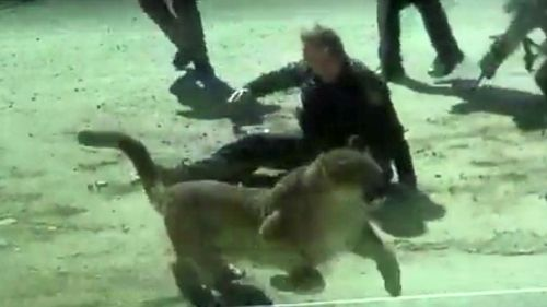 The mountain lion bounds away after attacking the deputy.