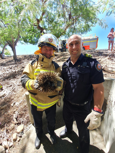 Echidna rescued by firefighters from drain in Queensland.